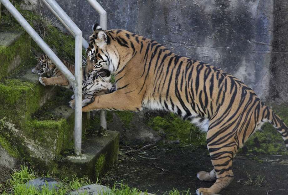 Leanne teaches her 2-month-old Sumatran tiger cub how to climb the stairs from the lower moat of their outdoor enclosure at the San Francisco Zoo in San Francisco, Calif. on Thursday, April 11, 2013. The public can get its first glimpse of the still unnamed female cub venturing outside of the Lion House beginning Friday. Photo: Paul Chinn, The Chronicle