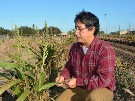 Dr. Raul Villanueva, a Texas A&M AgriLife Extension Service entomologist in Weslaco, examines a grain sorghum crop for signs of the sugarcane aphid, a tiny insect that could cause major problems this year for grain sorghum growers. (AgriLife Communications photo by Rod Santa Ana)
