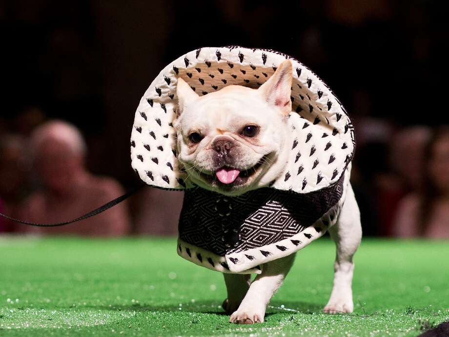 Cozette, also known as Cozy, is a 1 year old petite blonde French Bulldog dressed as the Beast from Beauty and the Beast  during the Haute Dog Competition benefitting Muttville at the SF Design Center in San Francisco, Calif., Friday February 7, 2014. Fabrics were donated by Casamance. Photo: Jason Henry, Special To The Chronicle