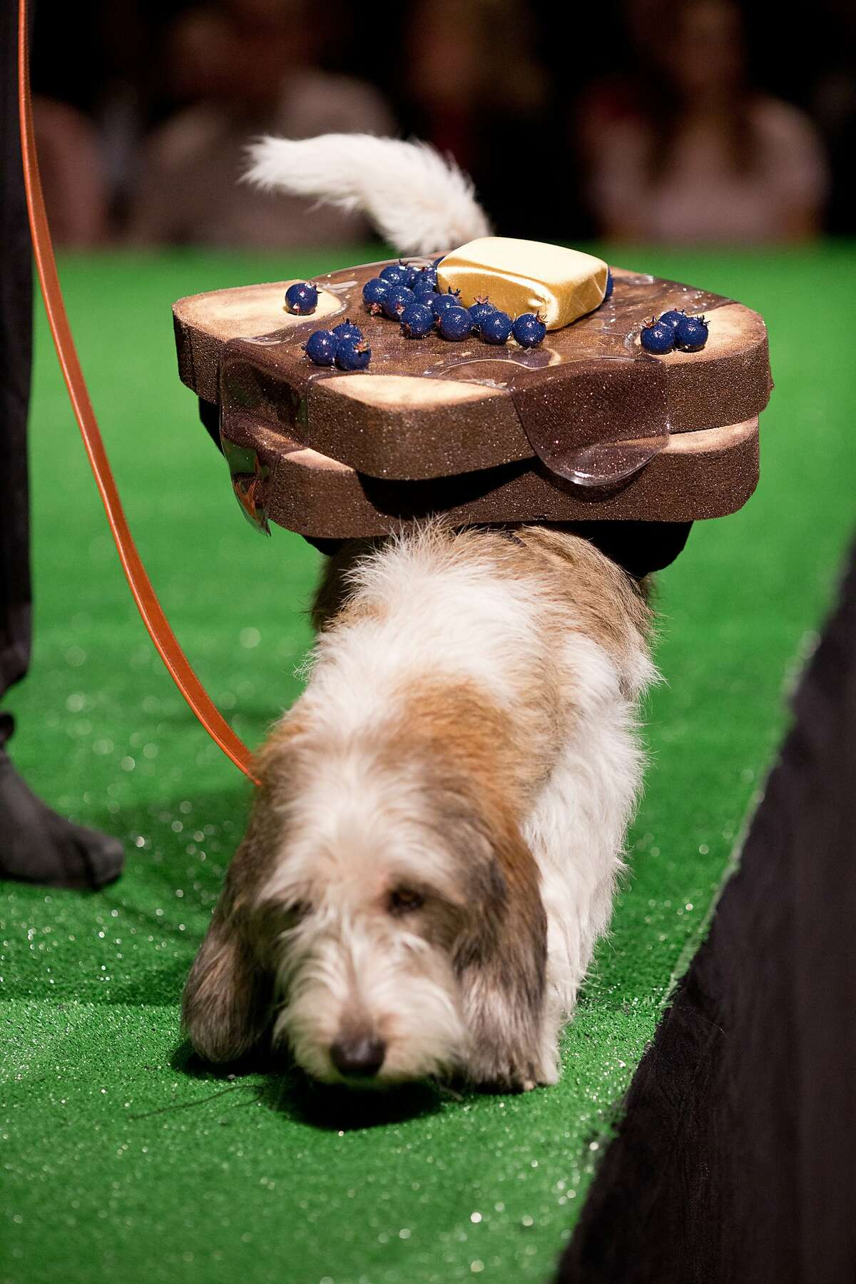 Louie, 2, a petit Bassett Griffon Vendeen, wearing an entree of French toast during the Haute Dog Competition benefitting Muttville at the SF Design Center in San Francisco, Calif., Friday February 7, 2014.