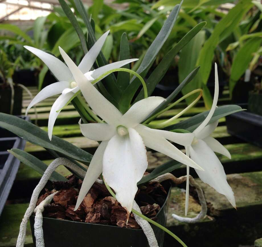 Angraecum didieri thrives in bright, indirect light and is best grown in orchid bark if in a container. Photo: Lauris Rose