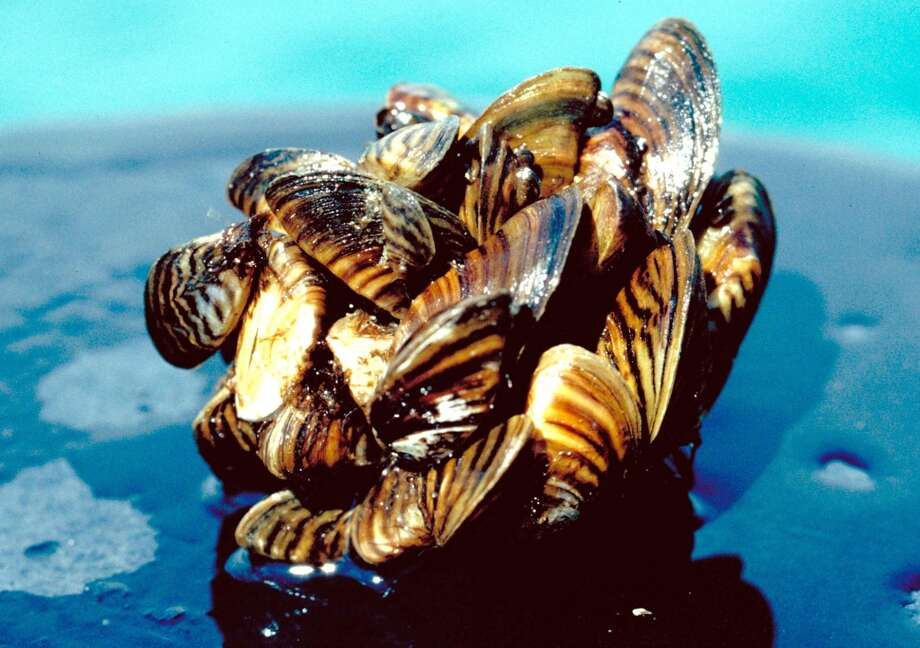 Zebra mussels are a top invasive species, with the worst infestation (so far) in Lake Texaoma, officials say. They also threaten the Trinity River basin. Photo: U.S. Department Of Agriculture , AP