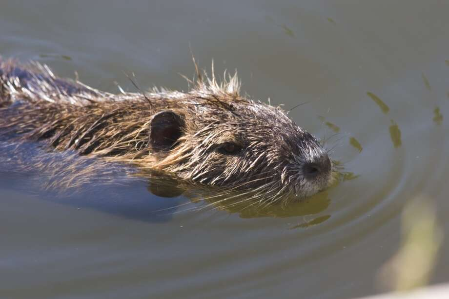 The first nutria arrived in the United States in 1899 to be farmed for fur in California. That state also managed the first successful eradication program. Photo: Houston Chronicle File