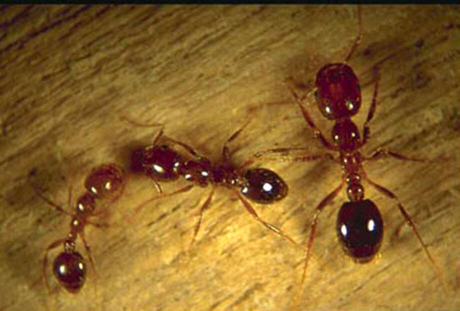 Texas A&M researchers have pinpointed a natural virus that kills fire ants, which arrived in the U.S. in the 1930s. Photo: Bart Drees, Texas A&M / AP / TEXAS A&M UNIVERSITY