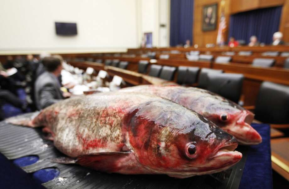 A congressional panel's hearing turned fishy in February 2010, when officials opposed introduction of the Asian carp into the Great Lakes. Photo: Manuel Balce Ceneta, ASSOCIATED PRESS
