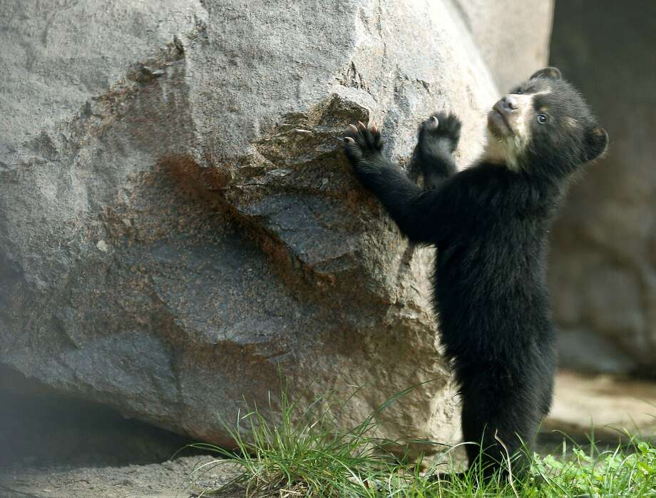 How about Sisyphus? A 5-month-old yet-to-be-named bear tries to budge a boulder at the zoo in Duisburg, Germany. Photo: Roland Weihrauch, AFP/Getty Images