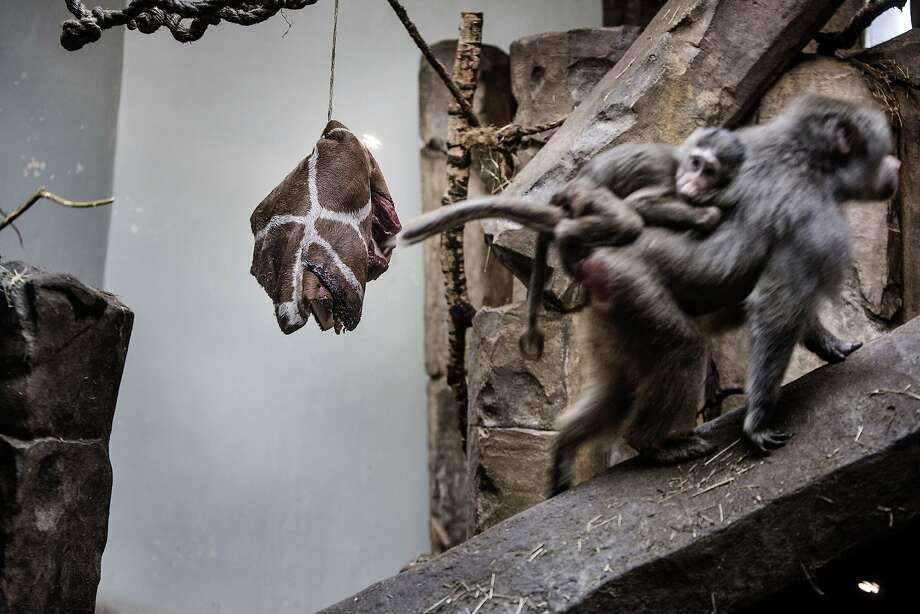 Fire the decorator: A baboon carries her baby past a suspended slab of giraffe meat that used to be part of Marius, a giraffe who was put down by the Copenhagen Zoo because he was genetically inferior to other giraffes. Thousands of people signed a petition to spare Marius to no avail. Photo: Thomas Lekfeldt, AFP/Getty Images