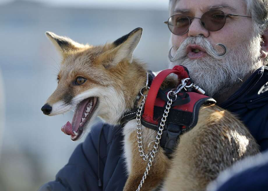 In other fox news: Rolf Niggemeyer says Foxy - that's what he calls him - was your average fox until a car hit him. His injuries were so serious he had to spend months recovering at an animal hospital. Foxy couldn't be returned to the wild after recuperating, so now he shares an apartment with Niggemeyer in Duesseldorf, Germany. Photo: Martin Meissner, Associated Press