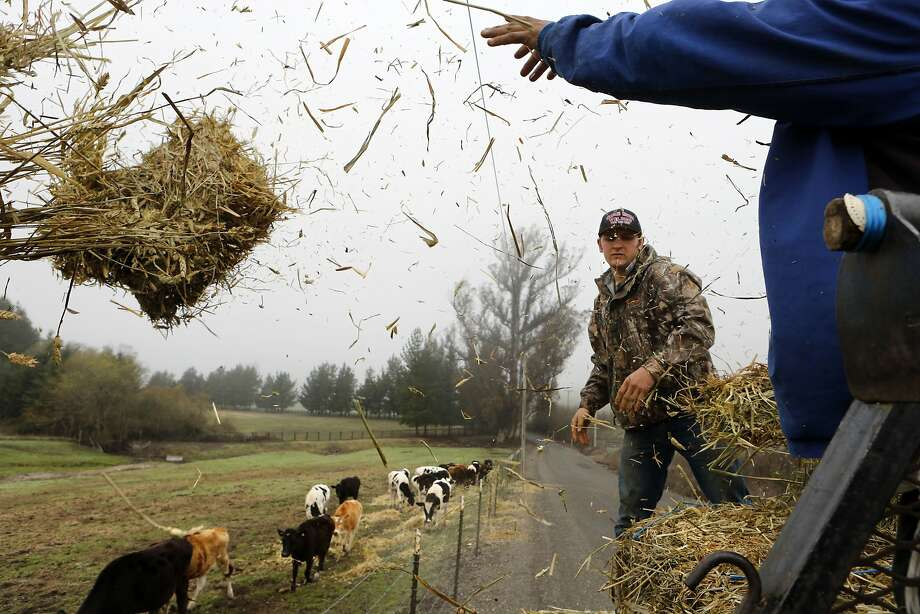 Joe Tresch Jr. (left) and Jesus Rodriguez throw feed to farm animals along Walker Road at the organic Tresch Family Farm in Petaluma, Calif. on Tuesday Feb. 11,  2014. Even with the recent rains local dairies  are having to truck in organic forage from upper Northern California growers to feed their animals. Photo: Michael Macor, The Chronicle
