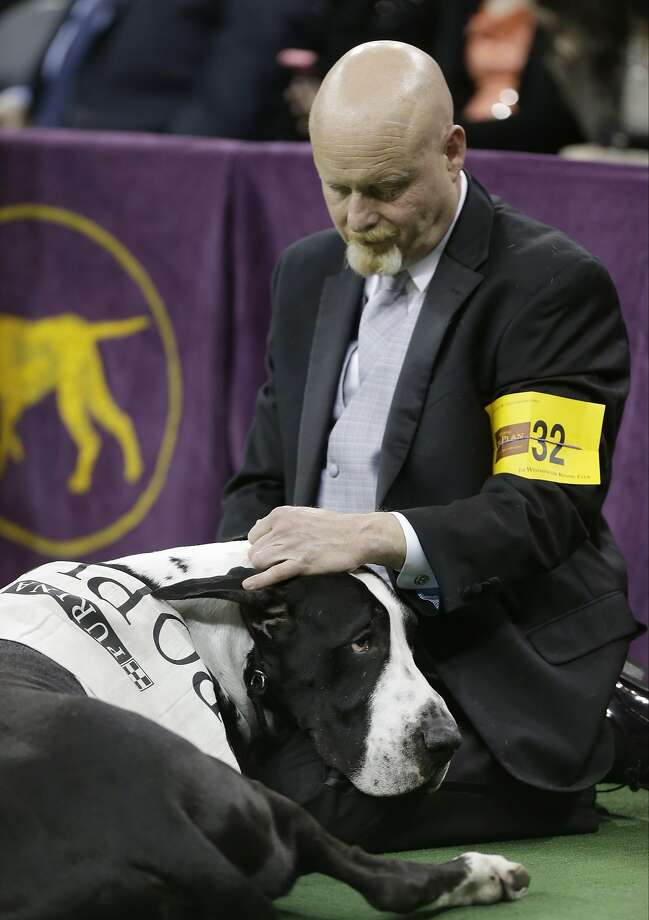 Don't feel bad, fella. They always pick the small dogs: Not only wasn't the Great Dane 