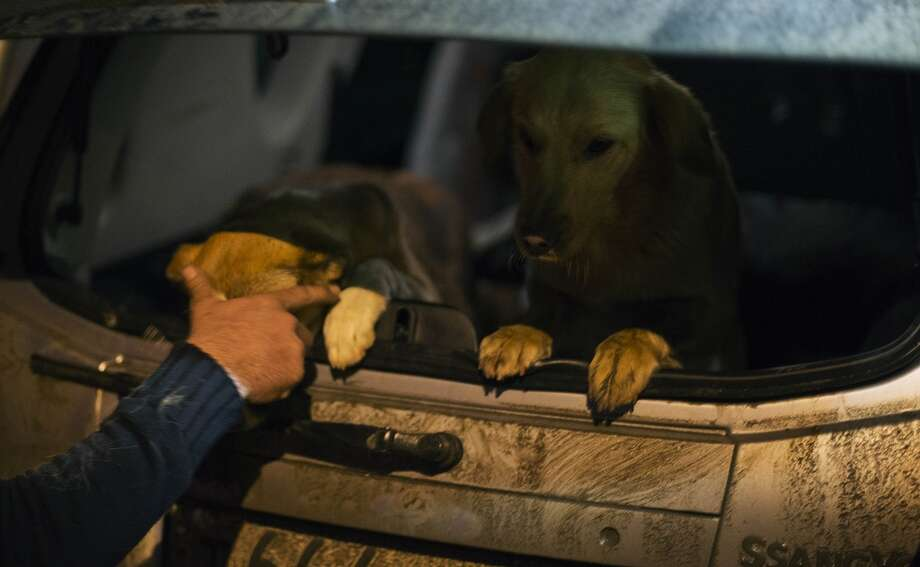 Animal activist Igor Airapetian loads stray dogs into his car brought out of Sochi by fellow activist at a rendezvous point 120 kilometers away from the Olympic area in the early morning hours of Tuesday, Feb. 11, 2014, in Tuapse, Russia. Airapetian is one of a dozen people in the emerging movement of animal activists in Sochi alarmed by reports that the city has contracted the killing of thousands of stray dogs before and during the Olympic Games. Stray dogs are a common sight on the streets of Russian cities, but with massive construction in the area the street dog population in Sochi and the Olympic park has soared. (AP Photo/David Goldman) Photo: David Goldman, Associated Press