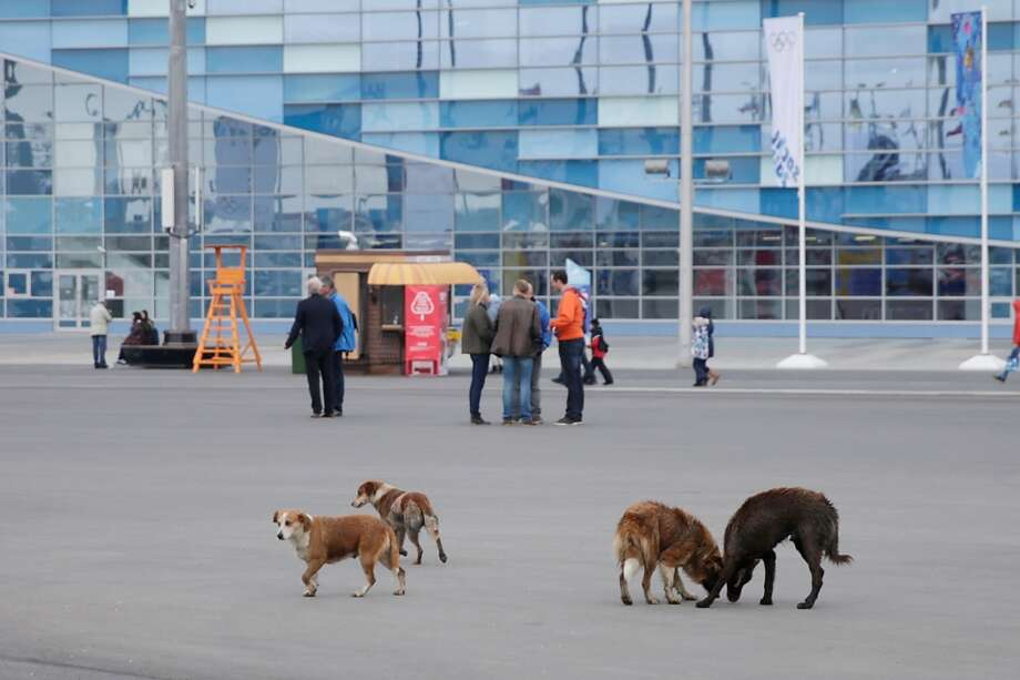 Stray dogs roam the grounds of the Olympic Park on Day 4 of the 2014 Winter Olympics on February 11, 2014 in Sochi, Russia.  (Photo by Joe Scarnici/Getty Images) Photo: Joe Scarnici, Getty Images