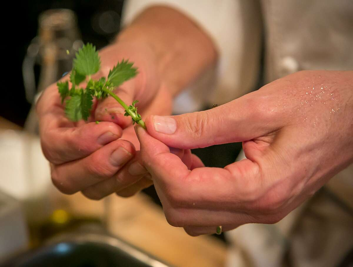 Chef Cal Peternell cleans wild nettles at Chez Panisse in Berkeley, Calif., is seen on Tuesday, February 11th, 2014.