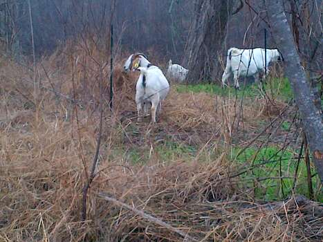 Goats are hard at work clearing brush in Victoria. If successful, the herd could be employed across the state as part of wildfire prevention plans. Photo: Susan Hatfield/GoatScapers