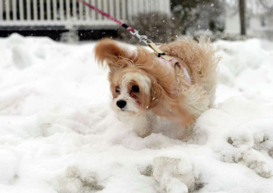 Ginger shakes off the snow Thursday, Feb. 13, 2014, in Ansonia, Conn. Photo: Autumn Driscoll / Connecticut Post