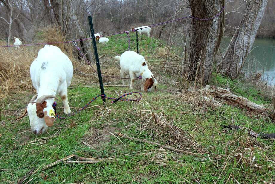 Goats are hard at work clearing brush in Victoria. If successful, the herd could be employed across the state as part of wildfire prevention plans. (Frank Tilley/Victoria Advocate)
