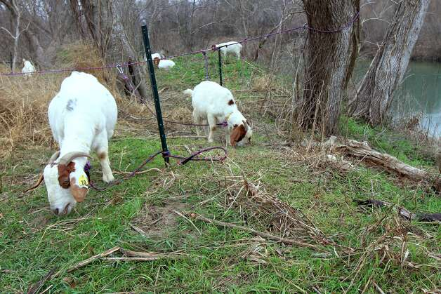 Goats are hard at work clearing brush in Victoria. If successful, the herd 