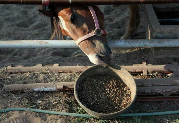 A horse tries to grab his food at the fairgrounds. Photo: Mayra Beltran, Houston Chronicle / © 2011 Houston Chronicle