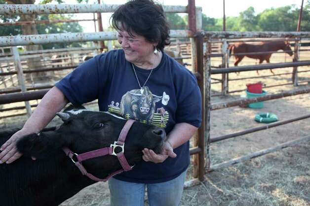 Elizabeth Ledesma pets a cow at the Waller County Fairgrounds in Hempstead, where animals are being housed free of charge as their owners flee the wildfires.  Photo: Mayra Beltran, Houston Chronicle / © 2011 Houston Chronicle