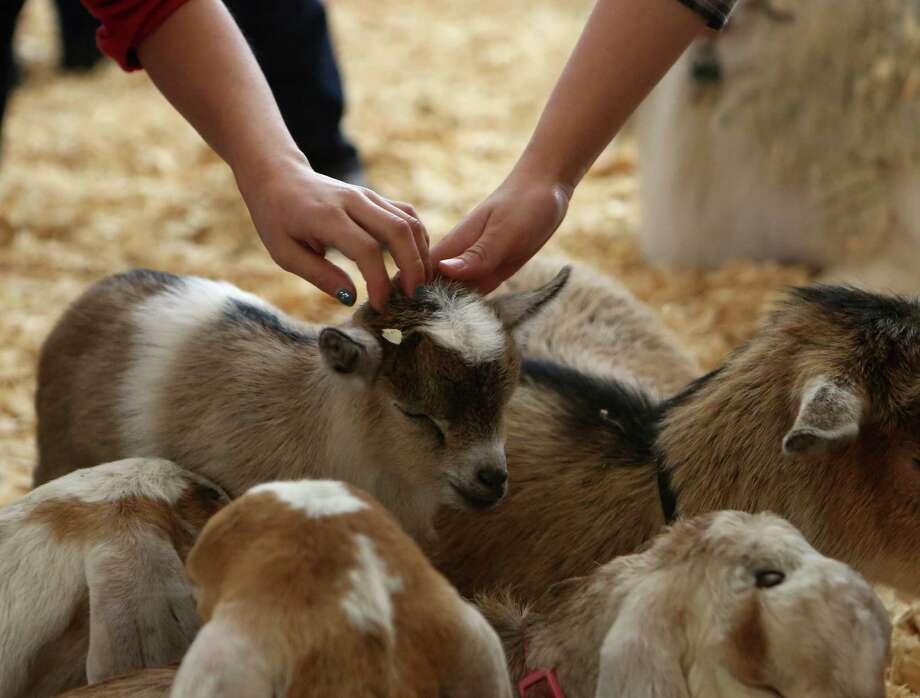 Students from Ridgeview Elementary school pet the animals in the Petting Zoo including a two-week-old goat at the San Antonio Stock Show & Rodeo on Thursday Feb. 13, 2014. Photo: Helen L. Montoya, San Antonio Express-News / ©2013 San Antonio Express-News
