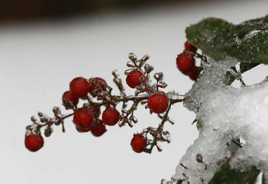Berries are covered in ice and snow in Chapel Hill, N.C., Thursday, Feb. 13, 2014. The National Weather Service issued a winter storm warning lasting into Thursday covering 95 of the state's 100 counties.  Photo: Gerry Broome, Associated Press
