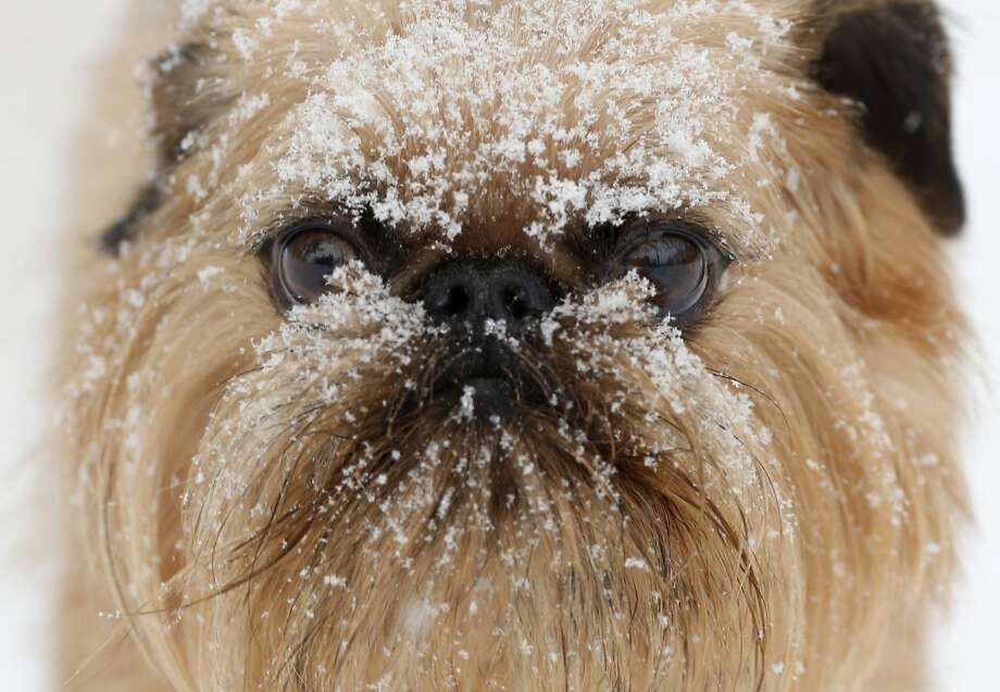 Despite the snow and his perpetual frown,Camper is basically a happy camper to be out on a walk led by a staffer from the Hounds on the Hudson dog day care center in Albany, N.Y. Photo: Mike Groll, Associated Press