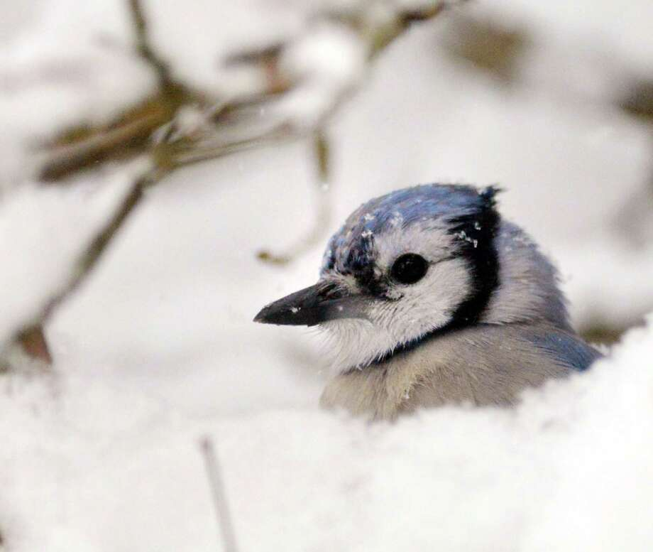 A Blue Jay pokes its head out of a snow-covered branch in the backyard of a Byram Road home during the snowstorm that hit Greenwich, Conn., Thursday, Feb. 13, 2014. Photo: Bob Luckey / Greenwich Time
