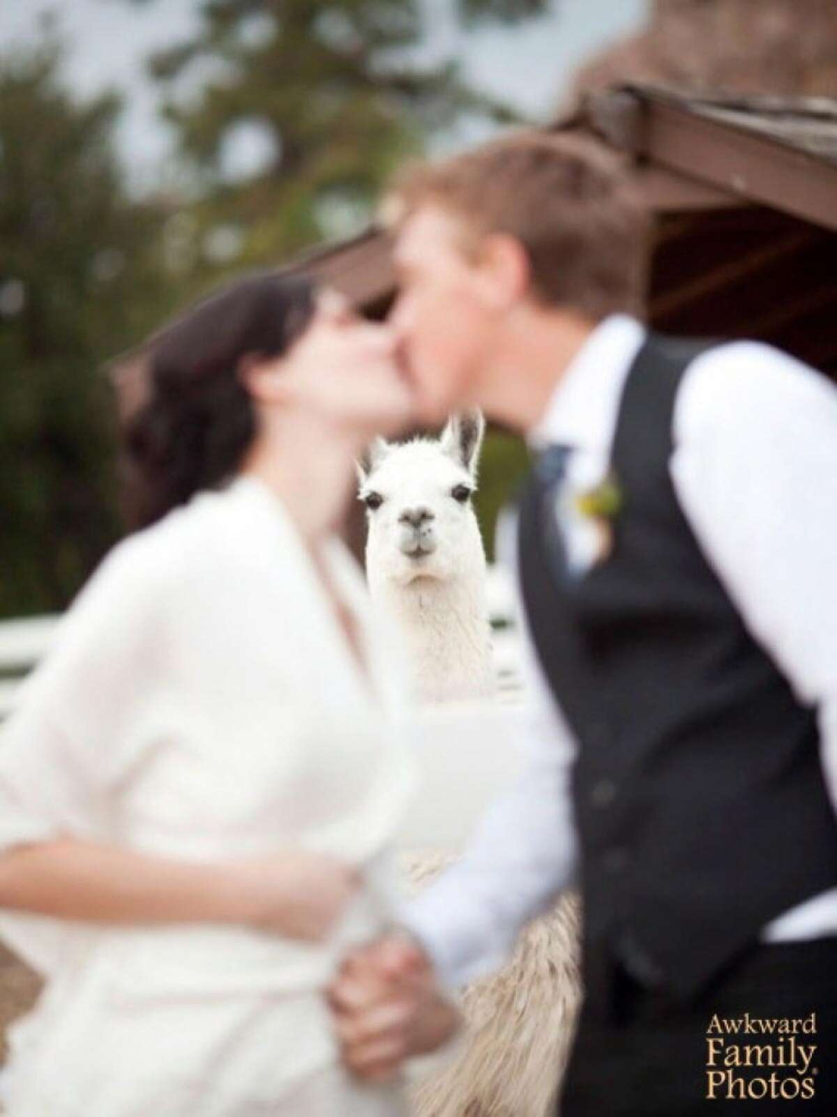 Nothing was going to break the bond between them - even the jealous llama.