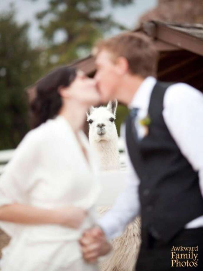 Nothing was going to break the bond between them — even the jealous llama. Photo: © AwkwardFamilyPhotos.com