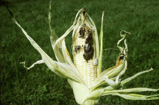 "Huitlacoche (wheat-lah-KOH-cheh): An edible fungus that grows on corn. Audio: Click here to hear the term ""Huitlacoche."""