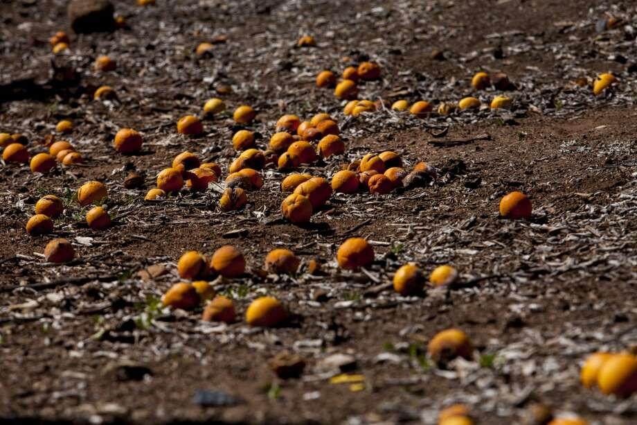 California: Citrus gone bad due to lack of water covers the ground at the Rancho Del Sol Organics farm in San Diego County, California, U.S., on Monday, Feb. 10, 2014. It is estimated that a week of freezing temperatures in early December cost California's citrus industry approximately $441 million in ruined fruit, according to California Citrus Mutual. Photo: Sam Hodgson, Bloomberg