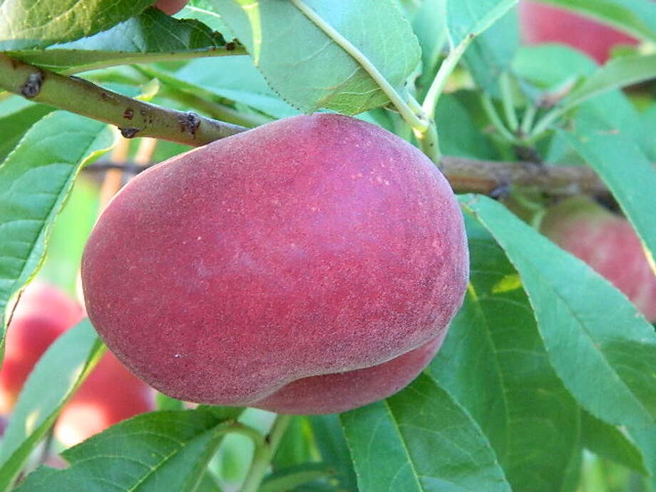 'Flat Delight One' is a white-flesh, low-acid, doughnut-shaped peach that ripens in mid-May.