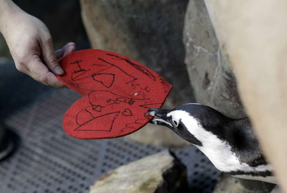 Thanks for the valentine! The message appears to have been written by a kindergartener, but it's the thought that counts. (An African penguin grabs its card at the California Academy of Sciences in San Francisco.) Photo: Marcio Jose Sanchez, Associated Press