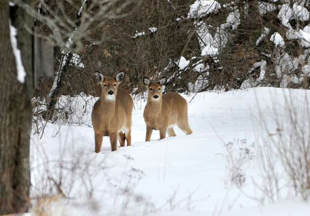 Deer look for food at Five Rivers Environmental Education Center after a major snow storm Friday, Feb. 14, 2014 in Delmar, N.Y.  (Lori Van Buren / Times Union) Photo: Lori Van Buren / 0025756A