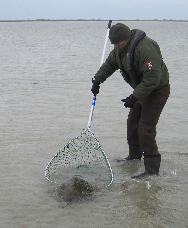 While no major fish kills have resulted from this winter's unusually severe sieges of cold weather, more than 1,100 cold-stunned sea turtles, such as this one rescued by Padre Island National Seashore staff in mid-December, have been found, with at least 200 turtles perishing from the cold. Photo: Picasa / handout