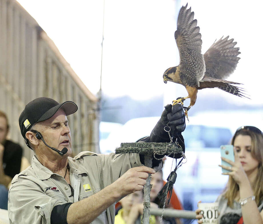 Raptor Project founder Jonathan Wood works with an Aplomado falcon during the Raptor and Birds of Prey show. / © 2014 San Antonio Express-News