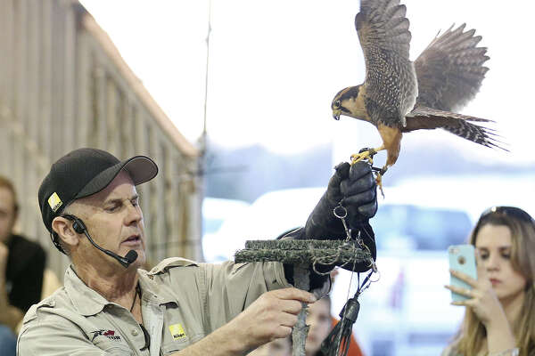 Raptor Project founder Jonathan Wood works with an Aplomado falcon during the Raptor and Birds of Prey show.
