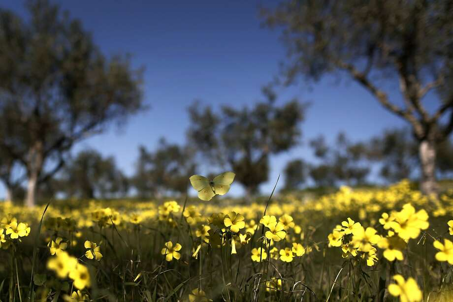 A butterfly hovers over a bed of wild flowers in an olive grove in Simiza, in the Peloponnese region of southern Greece, on Saturday, Feb. 15, 2014. Temperatures across Greece were unseasonably high for the Valentine's Day weekend. (AP Photo/Petros Giannakouris) Photo: Petros Giannakouris, Associated Press