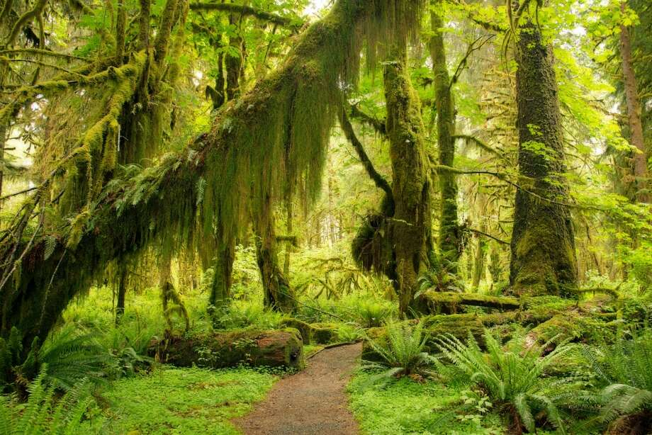 Camp in the Hoh Rain Forest, a lush canopy of moss, fern, lichen and conifers, where 140 to 170 inches of rain falls a year. Camping is your best chance of seeing …... Photo: Quan Yuan, Getty Images/Flickr Open