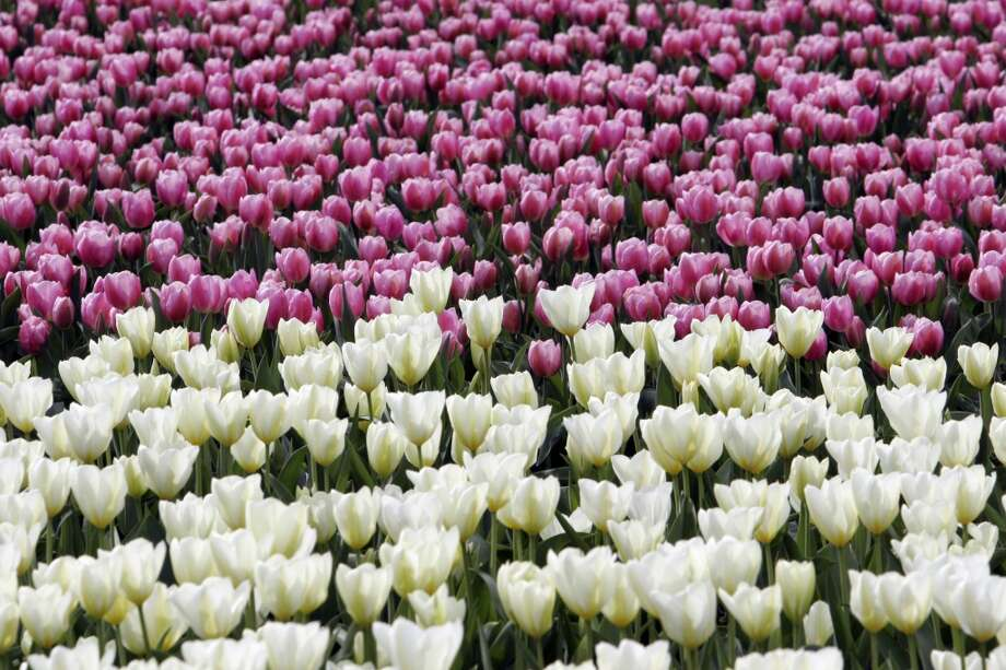 See hundreds of acres of blooming tulips at the Skagit Valley Tulip Festival. Photo: Meryl Schenker