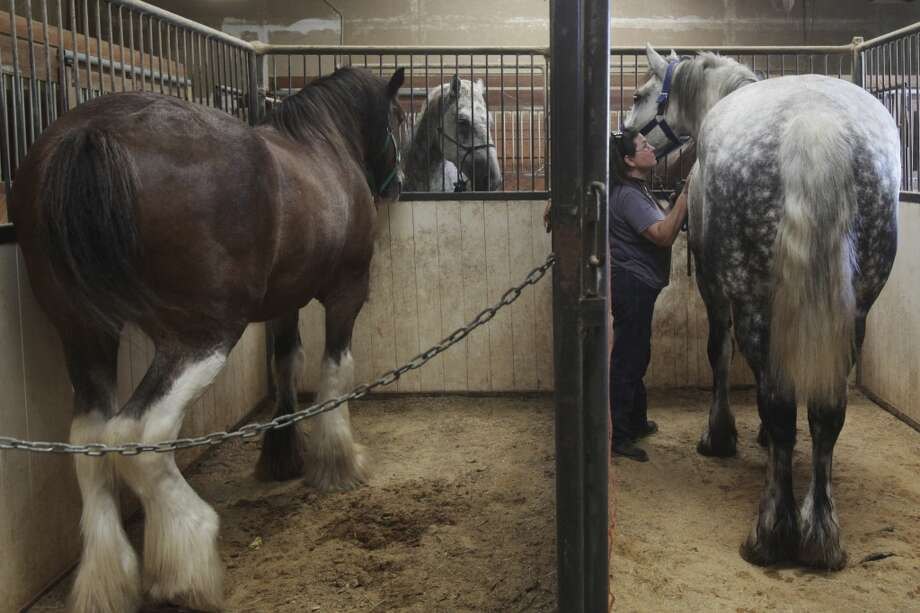 Barbara White of San Antonio, the barn manager at the Yellow Rose and HRH stables in San Antonio, brushes a horse on Wednesday, June 19, 2013. The City Council will vote Thursday whether or not to change horse-drawn carriage regulations. Photo: San Antonio Express-News