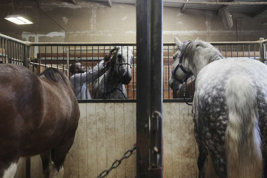 Noah Tillman-Young of San Antonio, the head trainer at the Yellow Rose and HRH stables in San Antonio, brushes Eli, a new carriage horse, on Wednesday, June 19, 2013. The City Council will vote Thursday whether or not to change horse-drawn carriage regulations. Photo: San Antonio Express-News