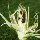 """Huitlacoche (wheat-lah-KOH-cheh): An edible fungus that grows on corn. Audio: Click here to hear the term """"Huitlacoche."""""""