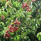 """Lychee (LEE-chee): A Chinese tree fruit that has sweet cherry notes. Audio: Click here to hear the term """"Lychee."""""""