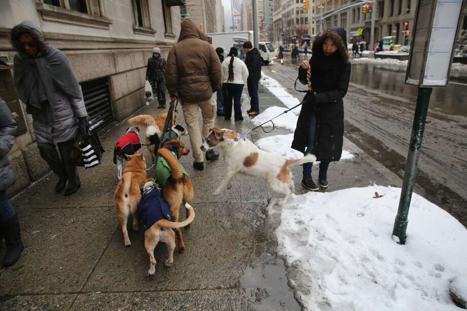 NEW YORK, NY - FEBRUARY 18:  A dog walker moves his pack up Park Avenue on February 18, 2014 in New York City. The city has reportedly received a total of about four feet of snow so far in 2014.  (Photo by John Moore/Getty Images) Photo: Getty Images
