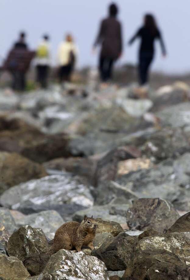 Ground squirrels favor the rocks along the shoreline at Cesar Chavez Park, a former landfill, near the Berkeley Marina. Photo: Paul Chinn, The Chronicle