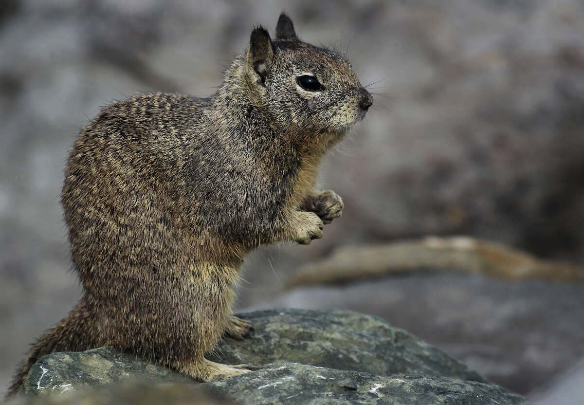 A ground squirrel looks for food at Cesar Chavez Park in Berkeley, Calif. on Wednesday, Feb. 12, 2014.