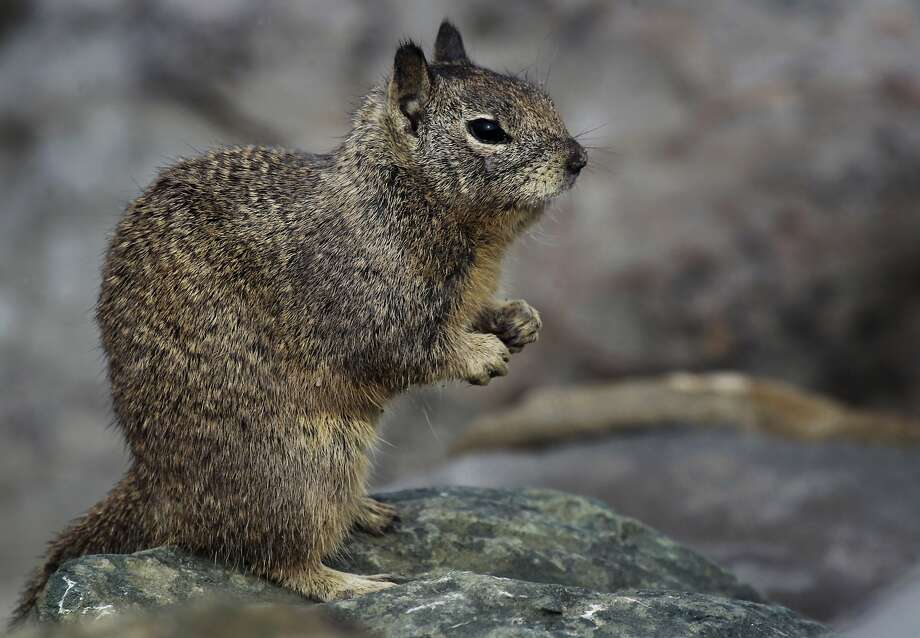 The City Council is considering a plan to exterminate the ground squirrels at Berkeley's Cesar Chavez Park. Photo: Paul Chinn, The Chronicle