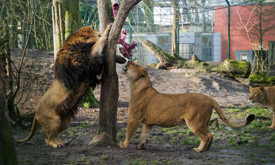 Tree horse of horror:Lions Mufassa (left) and Lula devour an elevated slab of horse meat at the zoo in Stralsund, Germany. Photo: Stefan Sauer, AFP/Getty Images