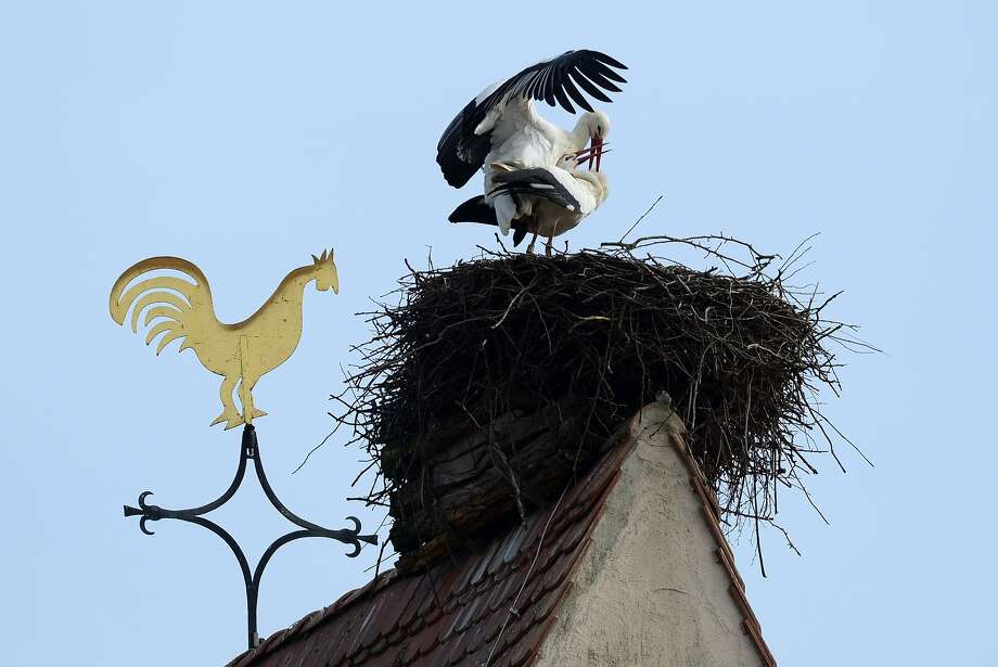 Birds do it: When storks are not busy flying human babies to new parents, they make their own babies. (Holzen, Germany.) Photo: Patrick Seeger, AFP/Getty Images